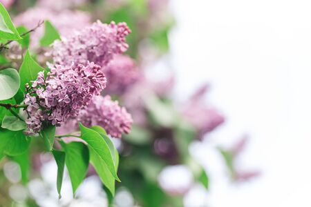 Beautiful branches of blossoming lilac in a spring garden.  Selective focus. Place for text.