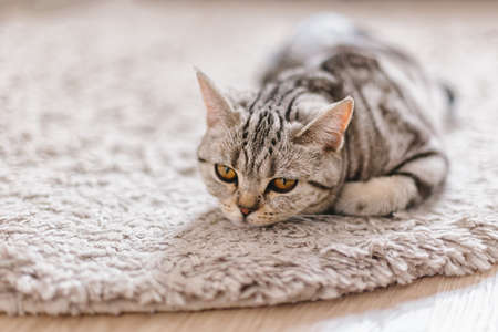 Fluffy kitten (Scottish Stright breed), laying on the rug. Tabby gray cat.