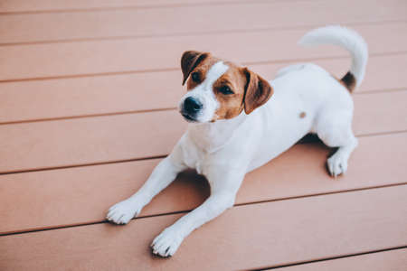 Adorable puppy Jack Russell Terrier lying on a wooden floor. Portrait of a little dog.
