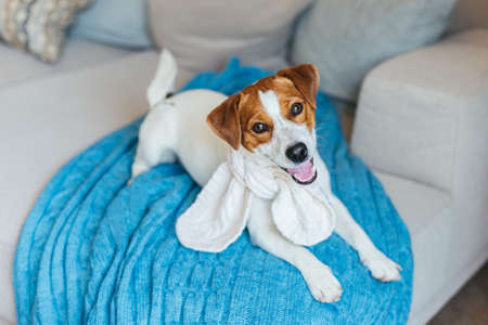Adorable puppy Jack Russell Terrier in a white knitted scarf, lying on a sofa with blue blanket. Portrait of a little dog.