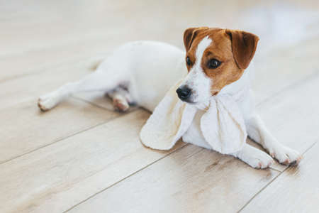 Adorable puppy Jack Russell Terrier in white knitted scarf, lying on a wooden floor at home. Portrait of a little dog.