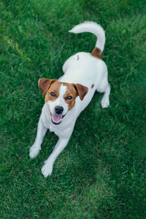 Adorable puppy Jack Russell Terrier on a green grass in a garden. Portrait of a little dog.