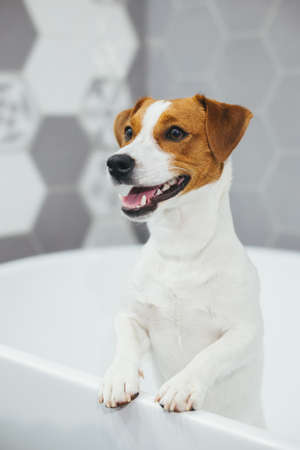 Cute puppy Jack Russell Terrier in a bathroom waiting for a bathing. Portrait of a little dog.