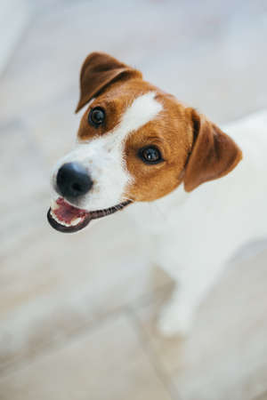Adorable puppy Jack Russell Terrier at home, looking at the camera. Portrait of a little dog. Stock Photo