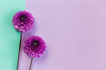 Amazing Dahlia flowers on a turquoise and violet pastel background. Flat lay. Place for text. Stock Photo