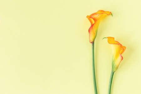 Beautiful yellow Calla Lilies flowers on a yellow pastel background. Flat lay. Place for text.