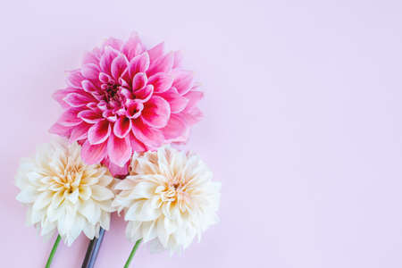 Amazing Dahlia flowers in pink and cream colors on a pink pastel background. Floral background or wallpaper. Flat lay.