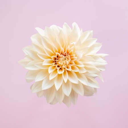 Amazing cream Dahlia flower on a pink pastel background. Place for text. Flat lay. Close-up. Stock Photo