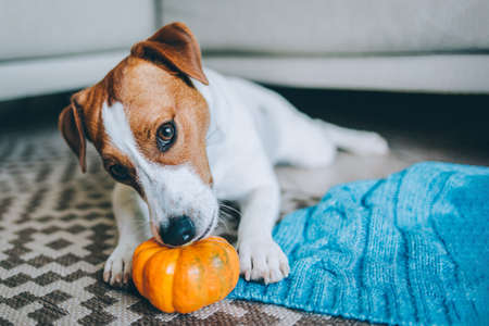 Adorable puppy Jack Russell Terrier with pumpkin lying near the sofa with blue blanket. Portrait of a little dog. Stock Photo