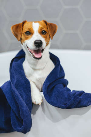 Cute puppy Jack Russell Terrier with blue towel in a bathroom. Portrait of a little dog.