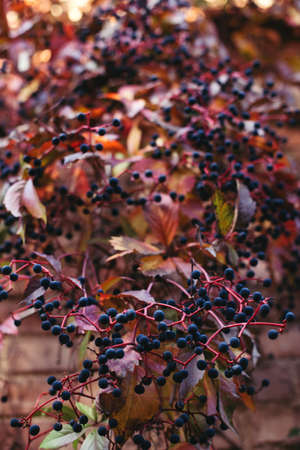 Beautiful branches of girlish grapes (Parthenocissus quinquefolia) with red leaves and berries. Autumn background.