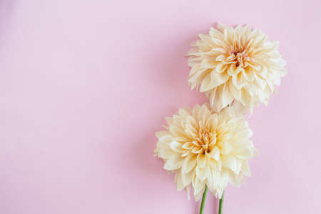 Amazing cream Dahlia flowers on a pink pastel background. Place for text. Flat lay.