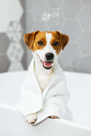 Cute puppy Jack Russell Terrier with towel in a bathroom waiting for a bathing. Portrait of a little dog.