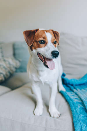 Cute puppy Jack Russell Terrier on a sofa with blue blanket. Portrait of a little dog. Stock Photo