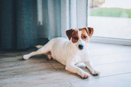 Adorable puppy Jack Russell Terrier lying on a wooden floor near a window. Portrait of a little dog.
