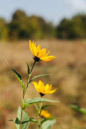 Beautiful yellow flowers on a autumn meadow in sunlight. Nature background. Selective focus. Stock Photo