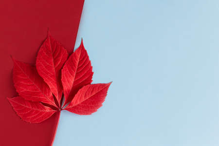 Beautiful red leaf on a light blue and red background. Autumn background. Flat lay. Place for text.