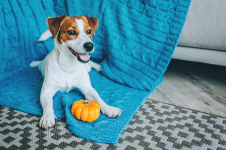 Adorable puppy Jack Russell Terrier playing with pumpkin near the sofa with blue blanket. Portrait of a little dog.