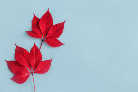 Beautiful red leaves on a light blue background. Autumn background. Flat lay. Place for text.