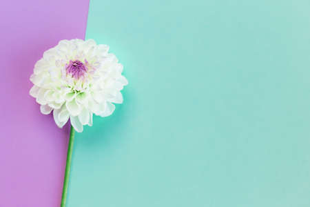 Amazing white Dahlia flower on a turquoise and violet pastel background. Flat lay. Place for text.