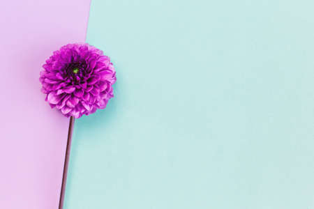 Amazing Dahlia flower on a turquoise and violet pastel background. Flat lay. Place for text.