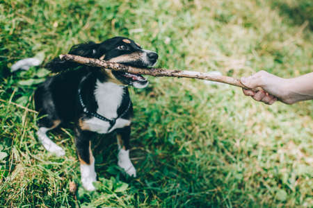 Adorable puppy and his owner playing with stick on a green grass. Portrait of a little dog. Stock Photo
