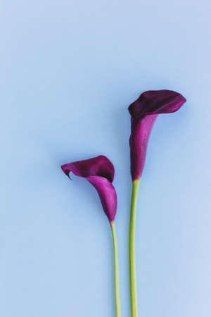 Beautiful dark purple Calla Lilies flowers on a light blue background. Flat lay. Place for text.