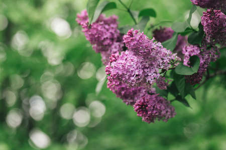 Beautiful branches of blossoming lilac in a spring garden. Selective focus. place for text. Stock Photo