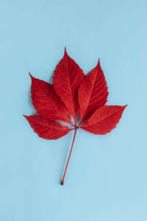 Beautiful red leaf on a light blue background. Autumn background. Flat lay. Place for text.