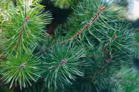 Fluffy pine tree branch. Christmas background, wallpaper. Close-up.