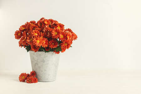 Beautiful autumn bouquet of a chrysanthemum flowers in a vintage pot on a white background. Place for text. Stock Photo