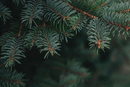 Fluffy branches of a fir-tree. Christmas wallpaper or postcard concept. Selective focus.