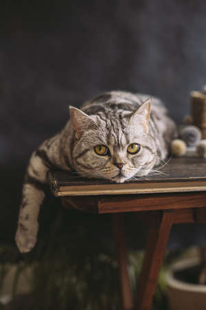 Portrait of a funny cat (Scottish Straight breed), laying on the table, dark background. Tabby gray cat.