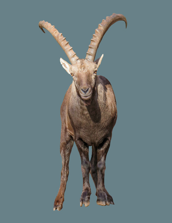 Mountain goat with horns on an isolated background. 版權商用圖片
