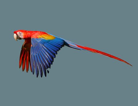 Bird Australian parrot in flight on an isolated background Stock Photo