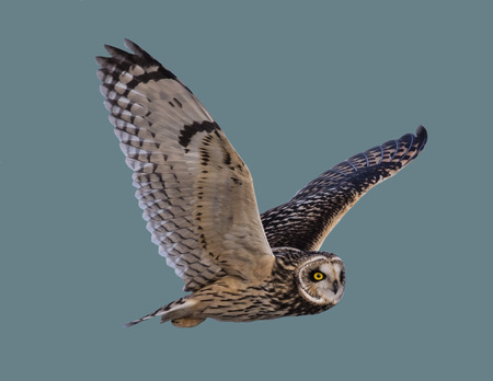 Owl in flight on an isolated background 写真素材
