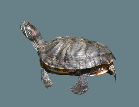 A terrestrial aquatic turtle on an isolated background.
