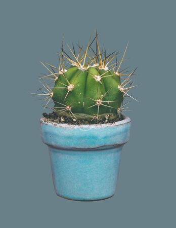 Cactus growing in a pot on an isolated background.