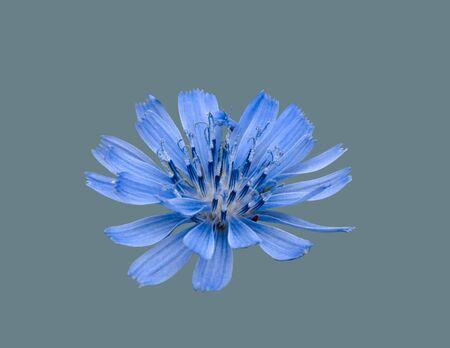 Open blue chicory flower on an isolated background.