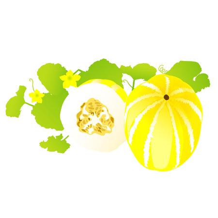 melon: honeydew melon, healthy fruit Illustration