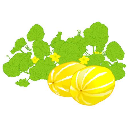 honingdauw meloen, zoete meloen, gezond fruit