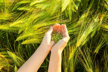 Grain of the wheat in hands of the child on a background of a wheaten field