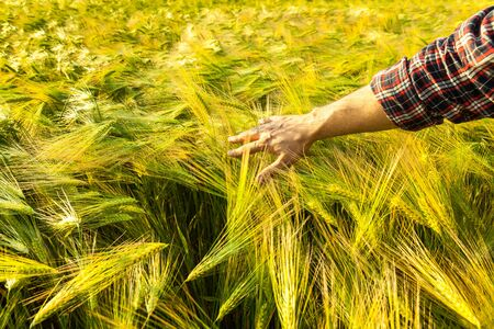 Farmer touching his crop with hand in a young green wheat field. Harvesting, organic farming concept Stock Photo