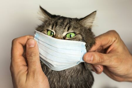 Male hands put a medical mask on the cat. Concept of protection from respiratory diseases.