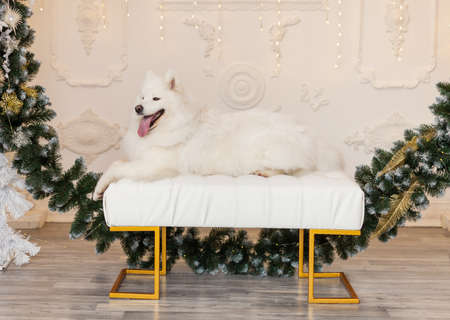Christmas dog Samoyed. Christmas, winter concept. Christmas tree. Christmas greeting card. Happy New Year. New Year at home. Chinese calendar template Stock Photo