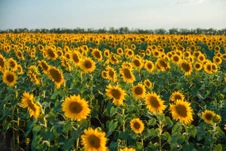 Sunflower field Background on sunset with selective focus Stock Photo