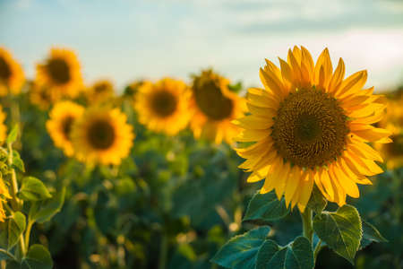 wallpaper with a close-up of sunflower against green background with flowers
