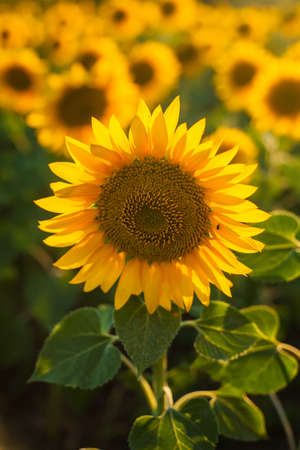Vertical wallpaper with a close-up of sunflower against green background with flowers