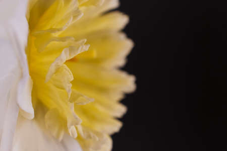 Macro petals of White and Yellow Narcissus trumpet, daffodil, Narcissus pseudonarcissus, macro detail, on a dark background with copy space, soft focus.