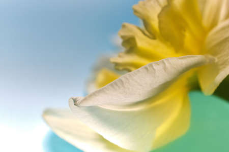 Macro petals of White and Yellow Narcissus trumpet, daffodil, Narcissus pseudonarcissus, macro detail, abstract background, soft focus.